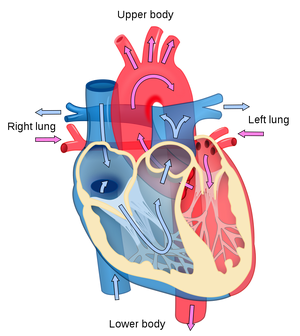 Heart diagram blood flow en