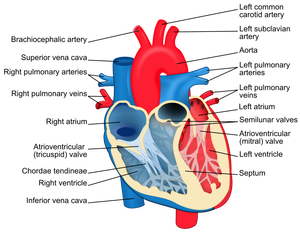 Heart diagram-en